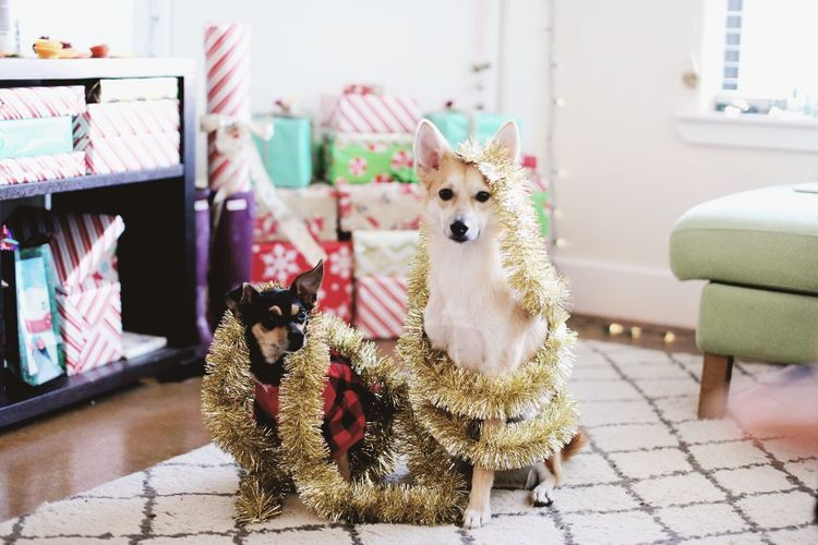 Christmas with the doggies. Domestic Animals Pets Dog Sitting Texas Austin Texas Looking At Camera Furry Friends Dogs Shiba Inu Christmas Decoration Christmas Around The World Happy Holidays! Winter December Pet Portraits Holiday Christmas Spirit Christmas Time