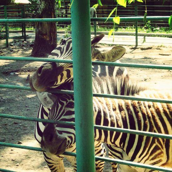 Они тоже хотят ко мне, любимые мои <3 Animals Zoo Zebra My Love
