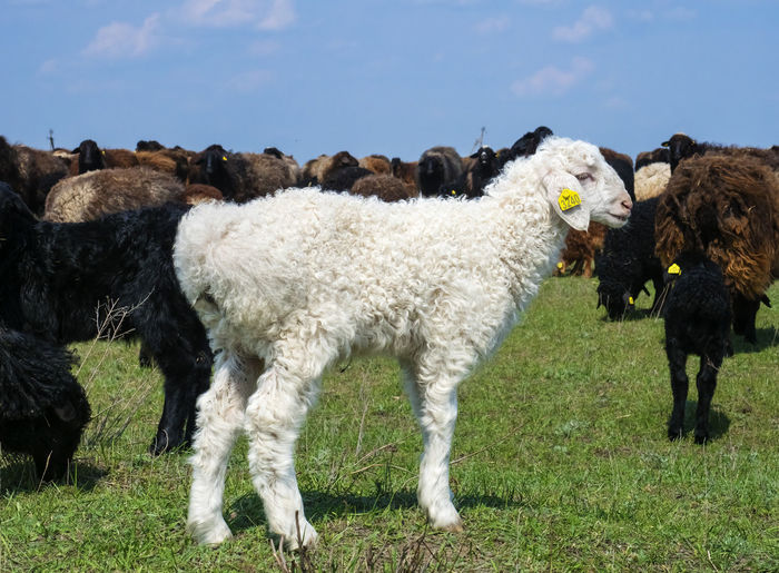 Sheep Domestic Animals Mammal Animal Themes Livestock Domestic Animal Pets Group Of Animals Vertebrate Field Land Grass Sky Nature No People Plant Large Group Of Animals Day Standing Herbivorous Outdoors