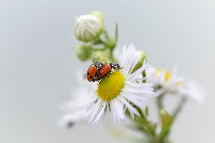 """Will you marry me?"" Flower Insect Nature Animal Themes Animals In The Wild Fragility Petal One Animal Freshness Beauty In Nature No People Flower Head Plant Close-up Animal Wildlife Growth Outdoors Day Yellow Ladybug Macro Marry Michael Hruschka Makro Insects"