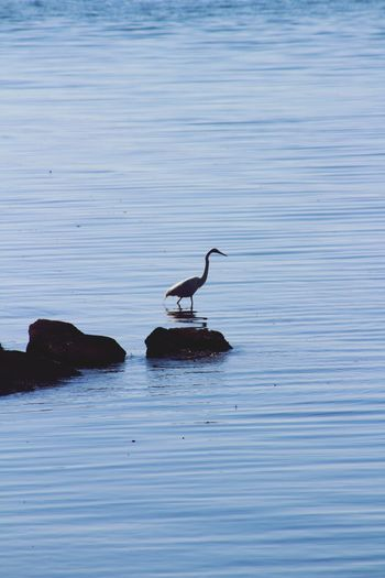 Waves Wildlife Ripples In The Water Ripples Lake Water Lake Macquarie Australia Patience Still Waiting Fishing Heron Animals In The Wild Animal Wildlife Animal Themes Water Nature Bird No People Outdoors Reflection