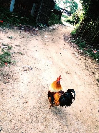 On My Way Goahead Chicken Confidence  Hometown Nature Colourful Alone Lonely