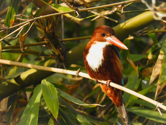Halcyon Smyrnensis Halcyon Smyrnensis Perched Perching Branch Kingfisher White Throated Kingfisher Beak Bird Perching Tree Leaf Beak Close-up Plant HEAD Leaves Animal Eye Feather  Tropical Bird Feather