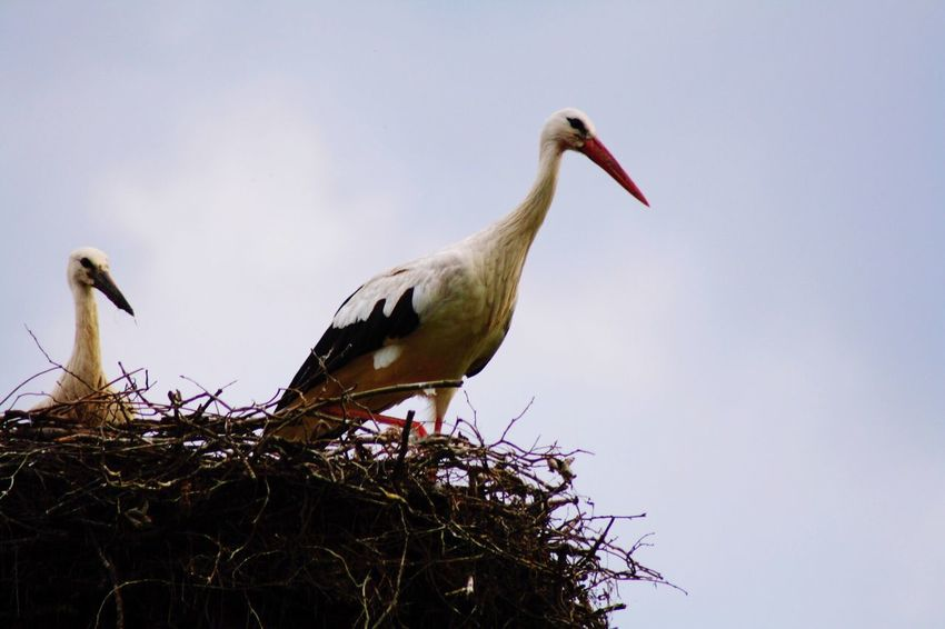 Stork Bird Vertebrate Animal Themes Animal Animals In The Wild Animal Wildlife Sky Low Angle View Stork No People Perching Clear Sky Nature Animal Nest Group Of Animals Day White Stork Two Animals Plant Beak