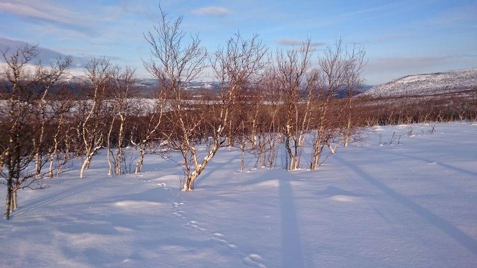 Birch Trees Winter Low Sun Saltoluokta Shadows Hare Tracks