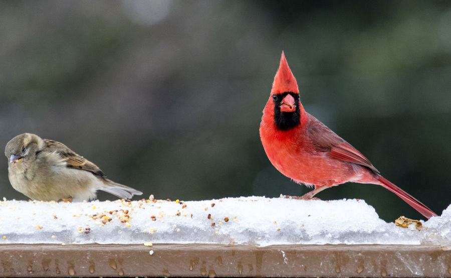 Cold Dinner Red Bird Animal Themes Animal Wildlife Animals In The Wild Beauty In Nature Bird Birds In Snow Close-up Day Focus On Foreground Food Nature No People Northern Cardinal Male Outdoors Perching Red Snow Songbird  Sparrow Sparrow And Northern Cardinal Two Birds