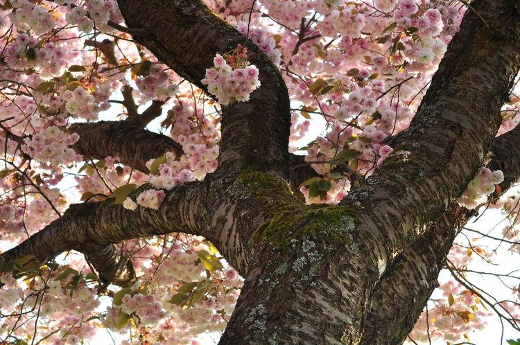 Bark Branches Cherry Blossoms Sakura Twigs Beauty In Nature Garden Prunus Serrulata Shirofugen Trunk