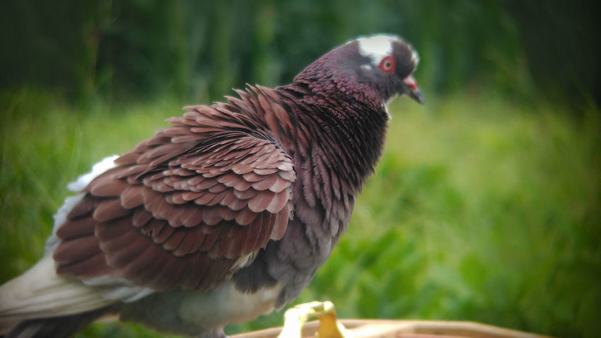 Pigeon Bird Dove Love Doves Animal Themes Animal Wildlife Animals In The Wild Beauty In Nature Bird Bird Of Prey Birds Close-up Day Dove Doves, Birds Focus On Foreground Nature No People One Animal Outdoors Perching Pigeon Pigeon Bird  Pigeons Rijall Rijall Blues Rijallblues
