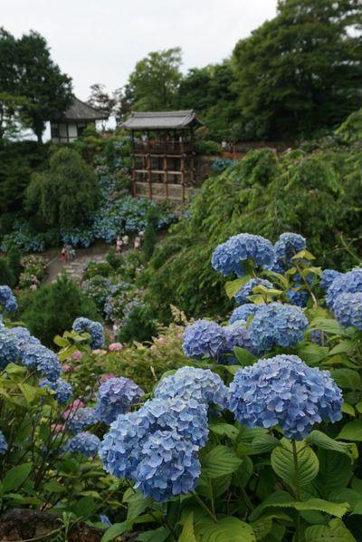 Kyoto,japan Yosjimine-ji 紫陽花 あじさい 京都 善峯寺 Flowers