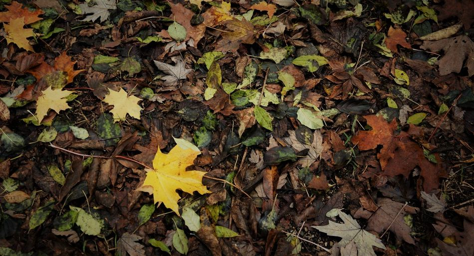 Autumn Leaves Leaf Plant Part Autumn Change Yellow Leaves Dry Nature Maple Leaf No People Field Beauty In Nature Land Plant High Angle View Day Close-up Falling Orange Color Natural Condition Outdoors Autumn Collection Fall
