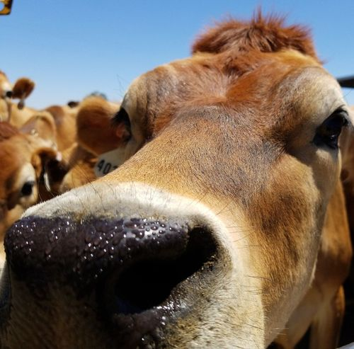 wet nose Wet Nose Dairy Farm Dairyfarming Happy Cows Lion - Feline Brown Close-up Cow Animal Nose Confined Space Animal Eye Snout Domesticated Animal Tag Farm Animal Domestic Cattle Cattle Livestock Tag Animal Ear