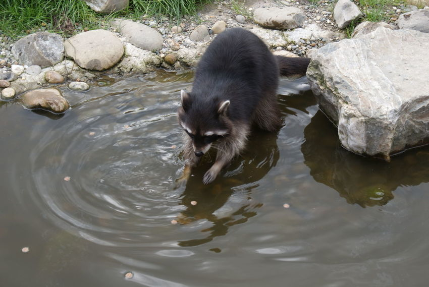 Animal Themes Animals In The Wild Day High Angle View Nature No People Otter Outdoors Rock - Object Stream Swimming Tranquility Water Water Bird Water Surface Waterfront Wildlife Zoology Racoon Pet Portraits My Best Travel Photo A New Beginning