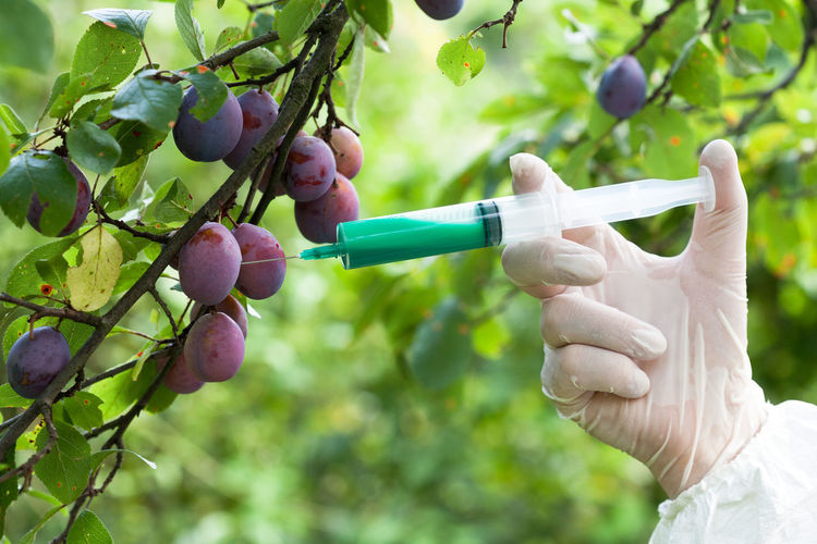 Cropped hand of scientist injecting syringe in fruit on branch