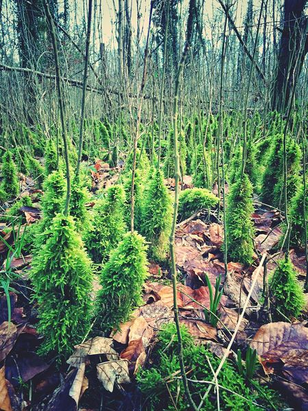 A strange group of creeping moss, climbing up saplings in a forest Moss Wood WoodLand Woodlands Woodland Walk Forest Forestwalk Green Green Color