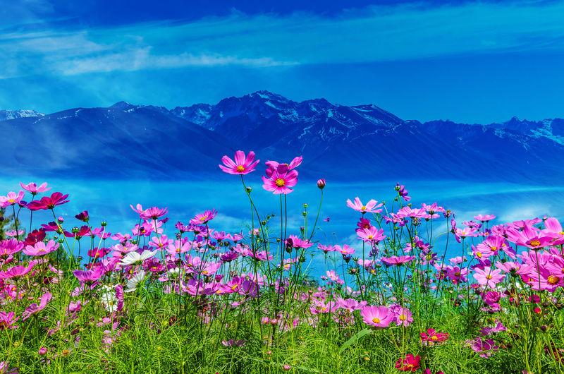 Pink flowering plants against blue sky