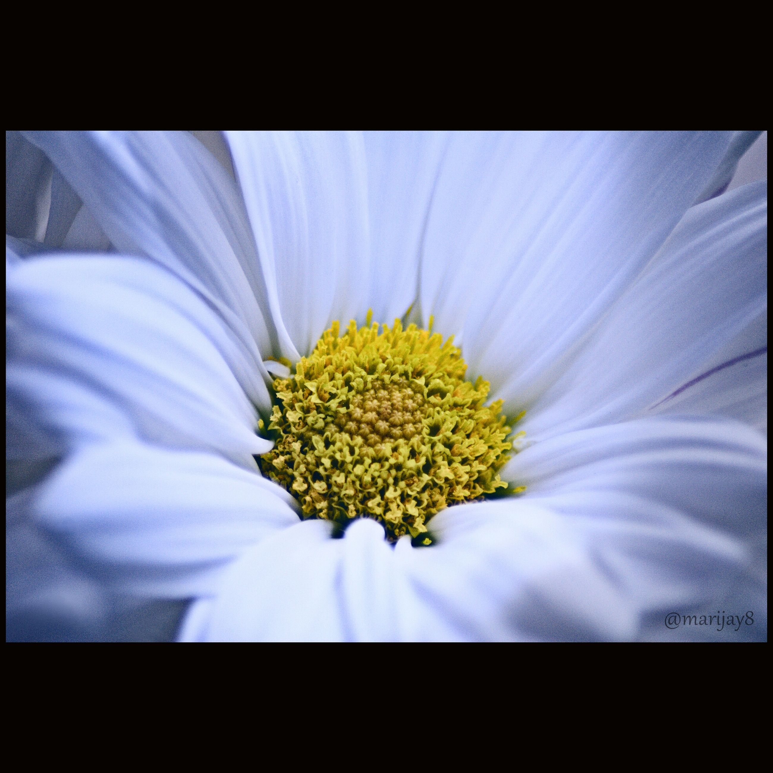 flower, petal, flower head, freshness, fragility, transfer print, pollen, single flower, beauty in nature, yellow, auto post production filter, close-up, nature, growth, stamen, blooming, white color, daisy, selective focus, blossom