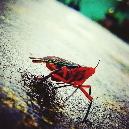 Redbug Buglife