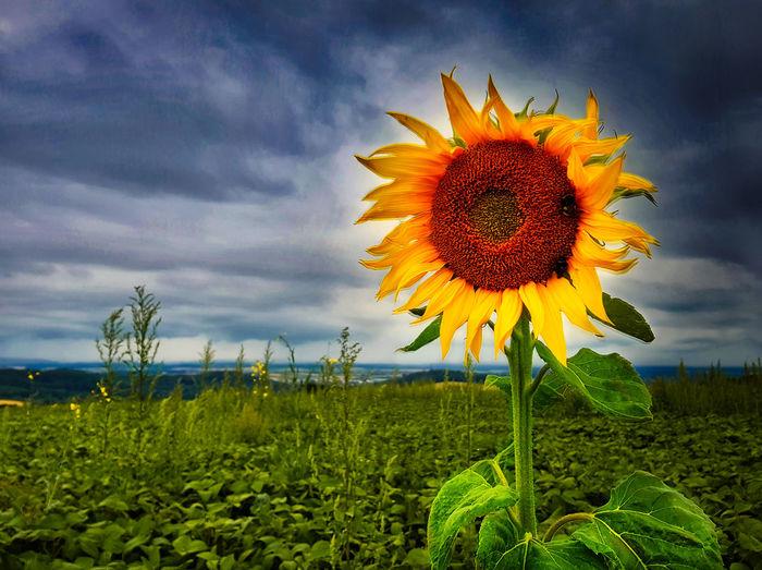 Sunflower against cloudy sky