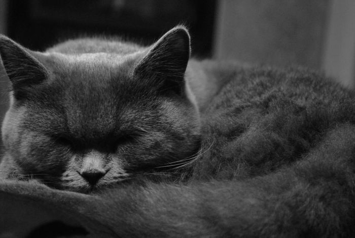 Domestic Animals Relaxation Feline Silence Moment FilterForWhat Cats Sleeping Silence Please Britishshorthair