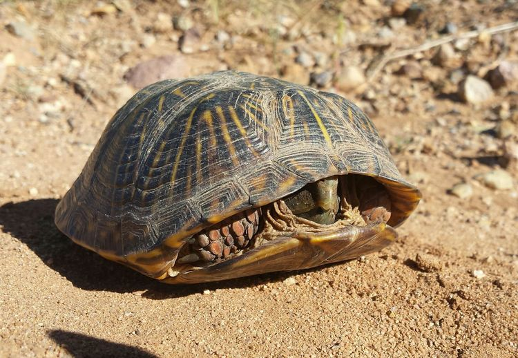 He didn't want to say hello, he was scared. I always stop to move them out of the road, in the same direction they were going, that's important. 😄 Desert Tortoise