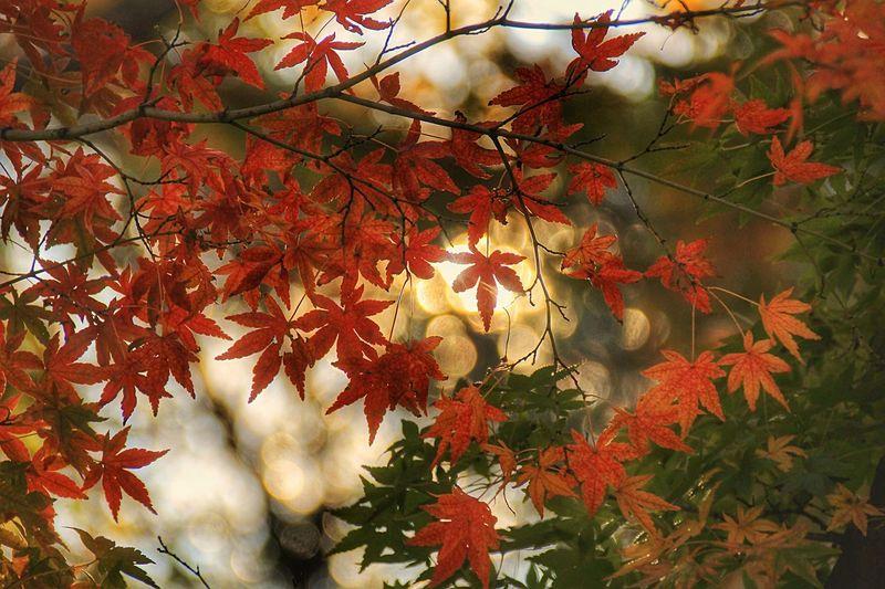 気がつけば秋。 Autumn Leaf Maple Leaf Nature 昭和記念公園 あなたを想う 空を見上げる あなたと見隊 想い出