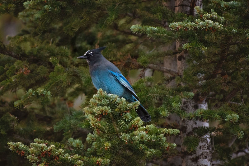 Stellers Jay bird perched on a pine branch Stellers Jay Jay Bird Blue Colored Bird Wildlife Wildlife & Nature Birds Of EyeEm  Birds Collection Pine Tree Branch Perched Perched Bird