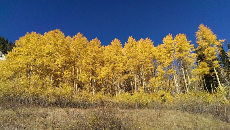 Tree Autumn Yellow Clear Sky Blue Beauty In Nature Utah Wasatch Mountains Nature Tranquility