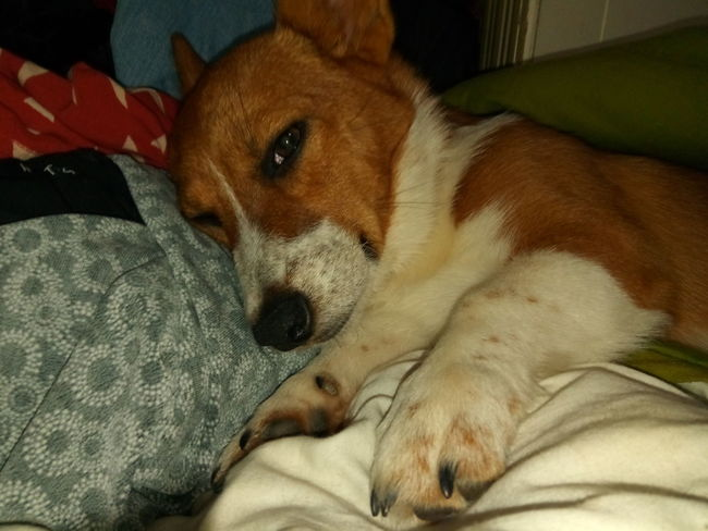 sleepy puppy Pets Portrait Dog Looking At Camera Lying Down Bed Close-up Puppy Pembroke Welsh Corgi Canine
