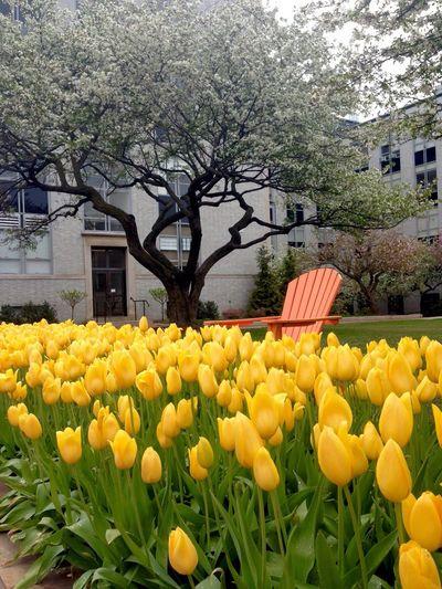 Yellow Flower Yellow Flowers Yellow Spring Spring Flowers April Orange Warm Colors White Tree Boston Yellow Tulips Tulips🌷 Tulips