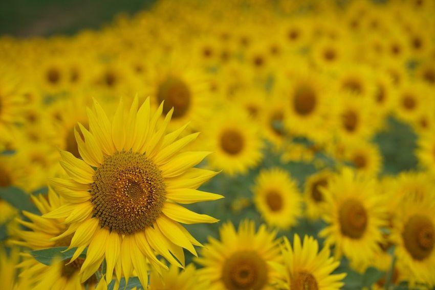 FUKUSHIMA Aizu Kitakata Sannokura Flower Sun Flower Flower Garden Yellow Sony A6000 ファインダー越しの私の世界 カメラ好きな人と繋がりたい 写真撮ってる人と繋がりたい 写真好きな人と繋がりたい