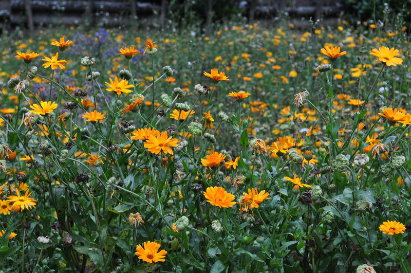 Flower Flowering Plant Freshness Plant Fragility Growth Beauty In Nature Vulnerability  Yellow Nature Close-up Field Flower Head Petal No People Land Flowerbed Inflorescence Day Orange Color Outdoors Gardening