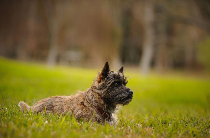 Cairn Terrier dog Animal Themes Cairn Cairn Terrier Day Dog Domestic Animals Field Grass Mammal No People One Animal Outdoors Pets Photography Portrait Purebred Terrier
