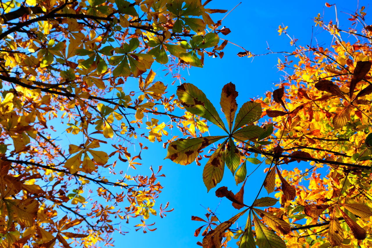 tree, plant, autumn, plant part, leaf, branch, low angle view, change, growth, beauty in nature, nature, sky, day, no people, fragility, blue, outdoors, maple leaf, focus on foreground, sunlight, springtime, leaves, autumn collection, cherry blossom, natural condition