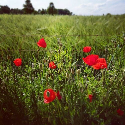 Flowers in the field. Mohn Mohnblume München Munich HTC Htc10 Powerof10 HDR