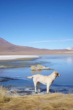 Bolivia Cañapa Lake Laguna Laguna ChiarCota Uyuni, Bolivia Laguna Cañapa Laguna Charcota Laguna Hedionda Viajeabolivia Pet Portraits