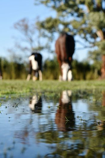 Animal Themes Animals In The Wild Animal Wildlife Grass Outdoors Tree Puddle Water NikonD5500 TheWeekOnEyeEM 18-55mm Nikor18-55mm Nikor50mm Nikor Horse Photography  Horses Horse Head Reflections In The Water Reflection Reflections Close-up Nikon