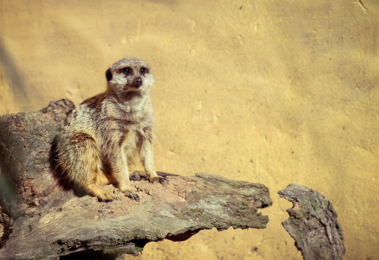 Animal Themes Animal Wildlife Animals In The Wild Close-up Day Mammal Meerkat Nature No People One Animal Outdoors Portrait Rock - Object