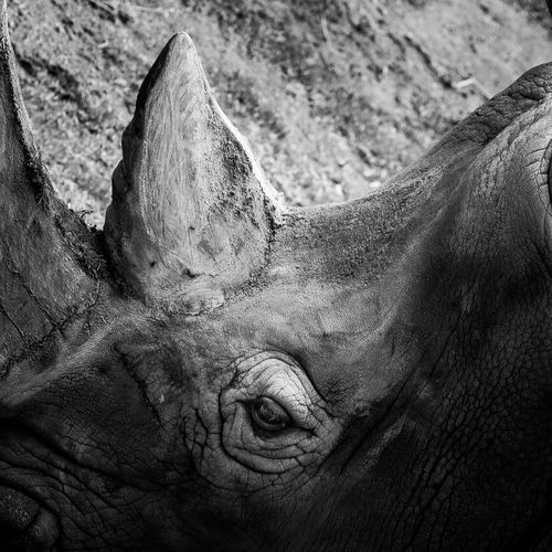 Animal Themes Animal Wildlife Animals In The Wild Close-up Day Mammal Nature No People One Animal Outdoors Rhinoceros
