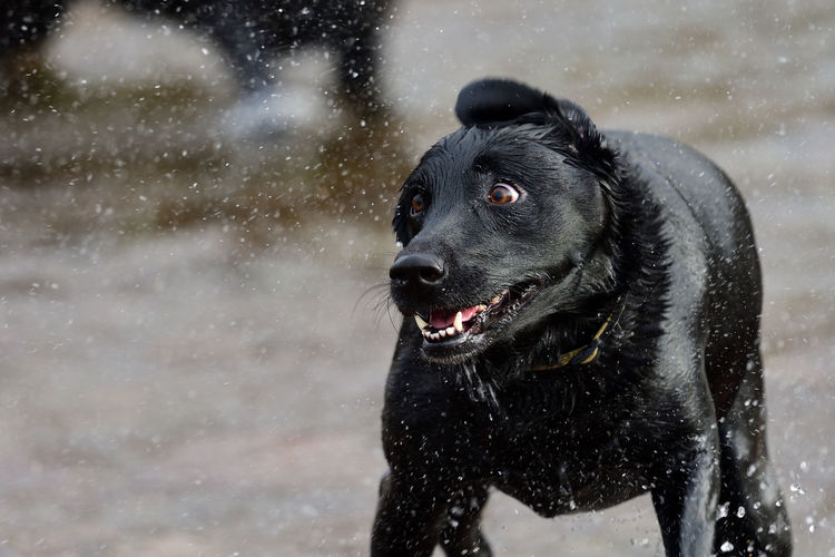 Black dog shaking wet fur at beach