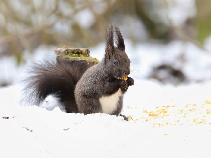 """Eating squirrel"" Https://www.facebook.com/mh.photography.de/ Michael Hruschka Sirui Tripod Sirui Wildlife & Nature Wildlife Forest Winter Schnee Tiere Wald Eichhörnchen Squirrel Animal Themes Animals In The Wild Animal Wildlife One Animal No People Eating Day Nature Close-up Snow Food Outdoors"