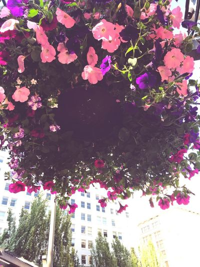 Downtown Low Angle View Buildings Architecture Hanging Flower Basket Portland Oregon Delicate Flower Interesting Shots Eyem Best Shots IPhoneography Beauty In Nature Eyemphotography Plant Tree No People Nature Growth Day Multi Colored Flower Flowering Plant Beauty In Nature Decoration Outdoors Low Angle View Pink Color Vulnerability  Freshness Close-up Fragility Built Structure Branch