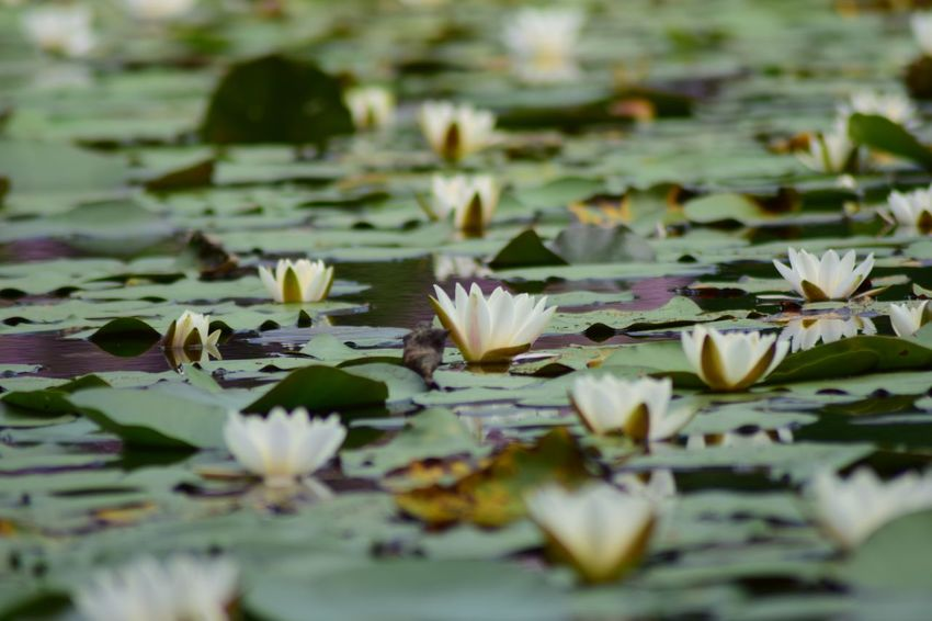 Flower Plant Water Lily Water Flowering Plant Selective Focus Fragility Beauty In Nature Vulnerability  Floating Lake Leaf Floating On Water Freshness Close-up Nature Growth Plant Part No People Flower Head