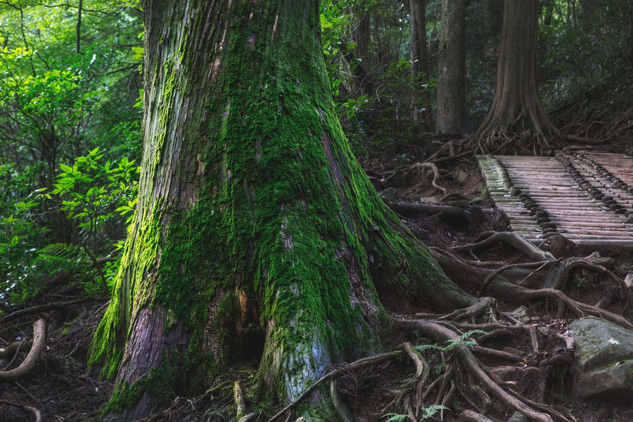 A moss covered tree at the base of Mount Tsukuba in Japan. EyEmNewHere Green Color Nature Tree Tree Trunk Forest Moss Roots Wilderness Woods