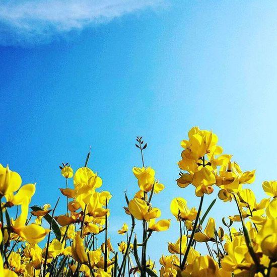 Yellow dream Beautiful Dreamy Romantic Nature Sparta Yellow Flowers Bush Sky Colours White Blue Yellow Green Instanature Photography Samsung Galaxy S4 Mine Thessaloniki Greece