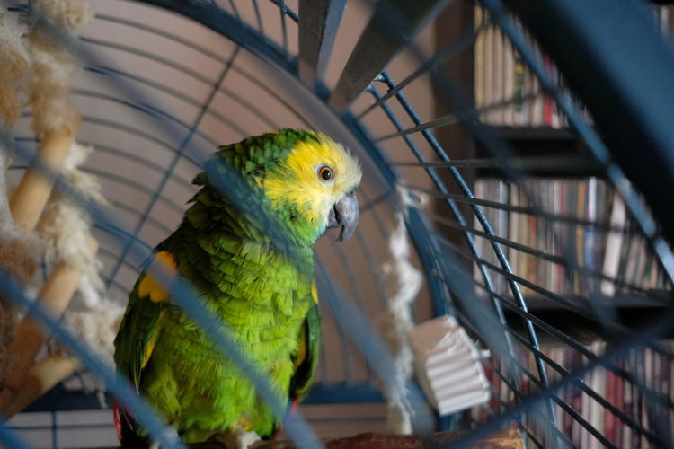 St Lucia Amazon in a cage at living room St Lucia Amazon Parrot Bird One Animal Caged Cage Birdcage Selective Focus Green Color Green Looking At Camera Sitting Yellow Yellow Color Living Room At Home Home Stanchion Lattice Lonely Loneliness Amazon Animal Themes Animal Vertebrate Pets Perching No People Domestic Indoors  Animals In Captivity Day