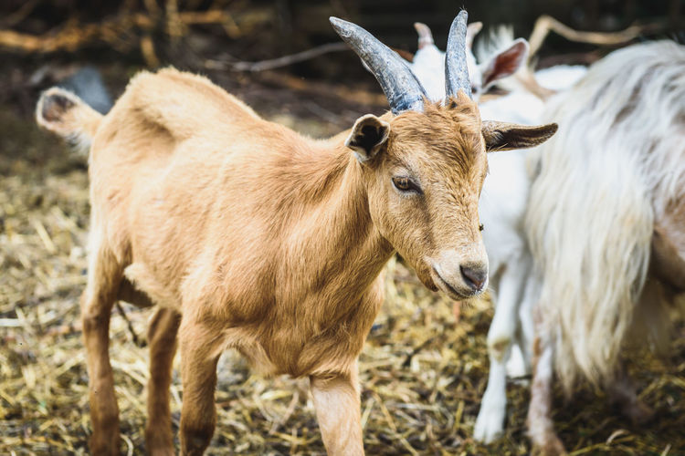 Mountain goats in natural environment on a pasture. Domestic animals in stables on in rural scene from Slovenia. Agriculture Goat Rural Slovenia Animal Themes Domestic Animal Domestic Animals Livestock Mammal Mountain Goats Mountain Range Nature No People Rural Scene Stables