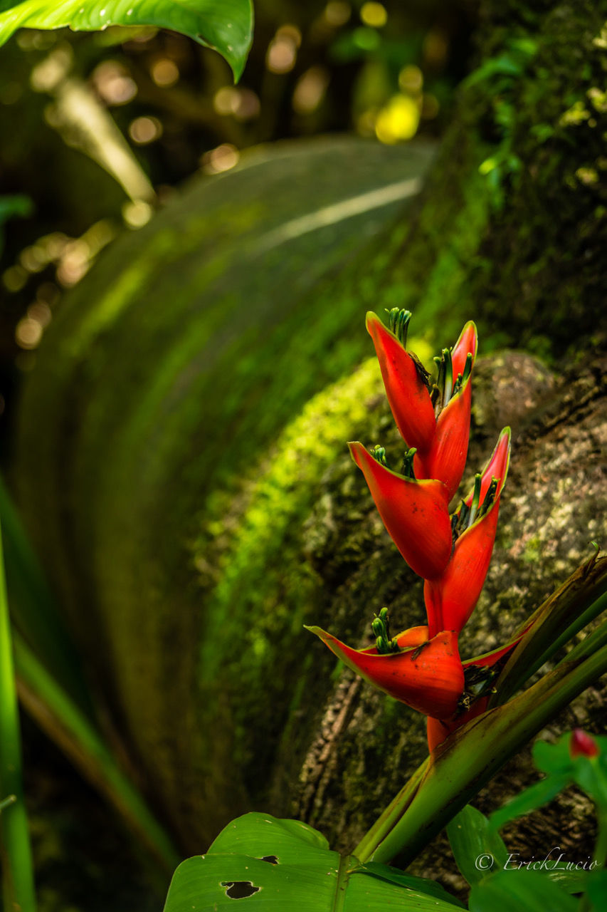 green color, growth, plant, red, cactus, nature, no people, day, outdoors, aloe vera plant, close-up, beauty in nature, focus on foreground, fragility, leaf, freshness, flower head