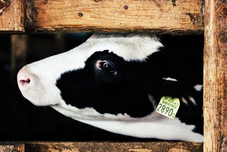 Head of calf