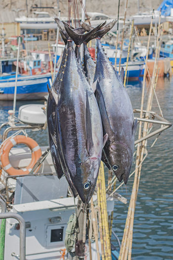 Freshly caught dripping tunas. Albacore Bluefin Catch Drip Harbor Salt Seafood Boat Cruise Deep Dock Drop Fishing Food Fresh Marine Portrait Sail Sport Tuna Vessel Water