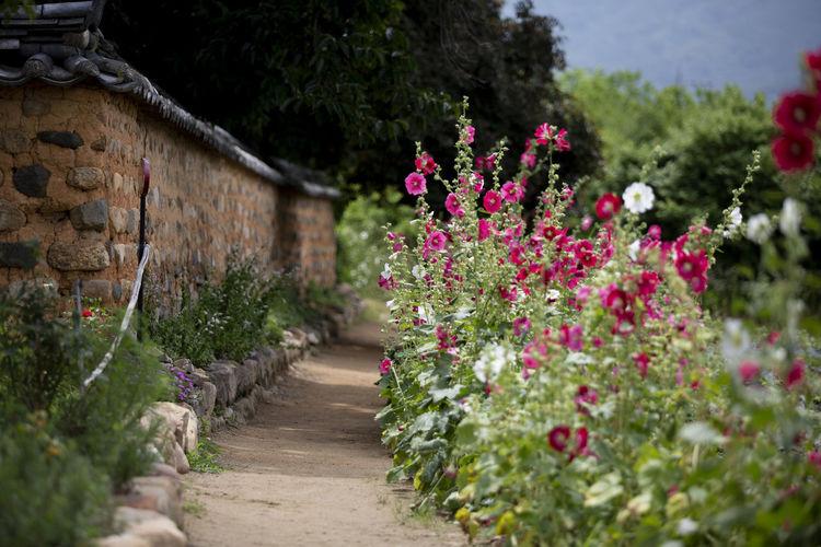 접시꽃당신 Korea Daegu, Korea EyeEm Selects Flower Festival 2018 EyeEm Best Shots Flower Flowerbed Tree Pink Color Front Or Back Yard Summer Footpath Plant In Bloom Flower Head Petal Ornamental Garden